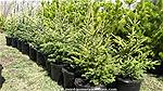 Picture: 40 3-4 Spruce Trees